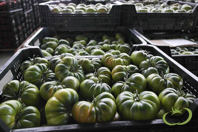 tomate-raf-agroponiente-2