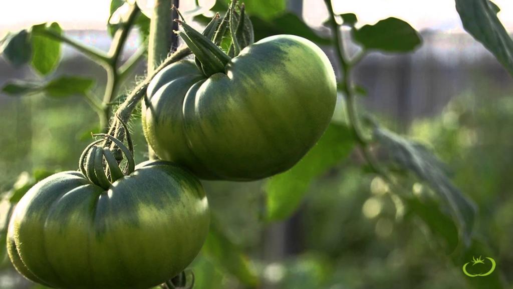tomate-raf-autencito-almeria-agroponiente